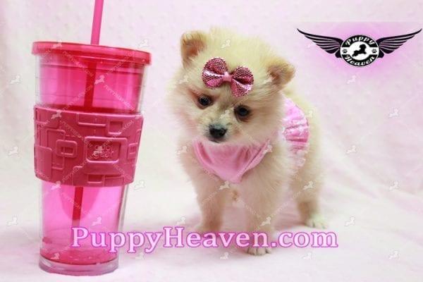 Sarabi - Teacup Pomeranian Puppy-10055