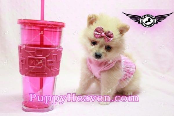 Sarabi - Teacup Pomeranian Puppy-10058