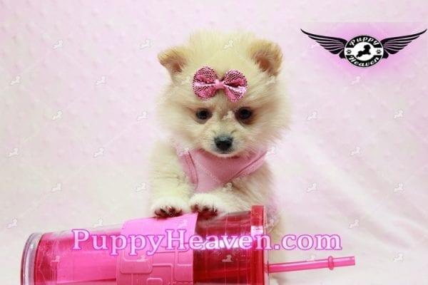 Sarabi - Teacup Pomeranian Puppy-10059