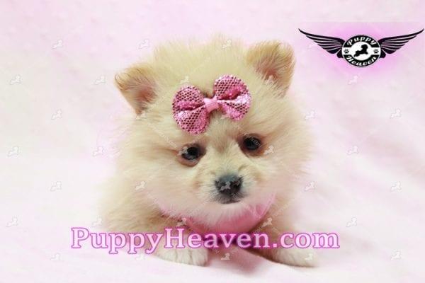 Sarabi - Teacup Pomeranian Puppy-10054