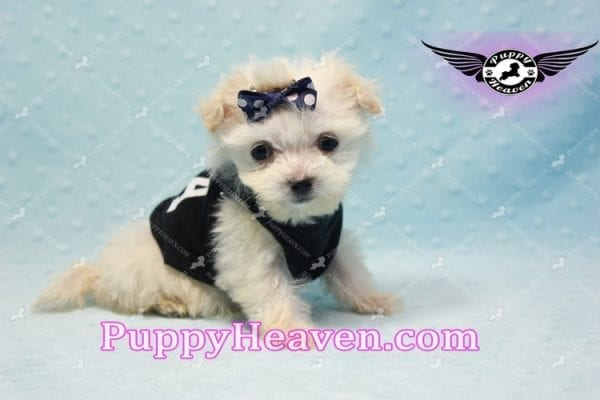 Snoop Dogg - Tiny Teacup Morkie Puppy-10032