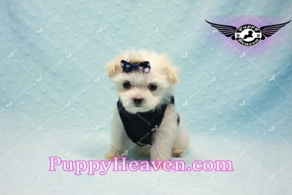 Snoop Dogg - Tiny Teacup Morkie Puppy-10033