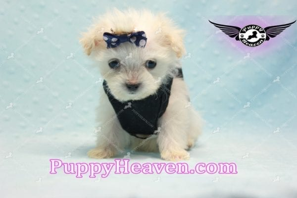 Snoop Dogg - Tiny Teacup Morkie Puppy-10036