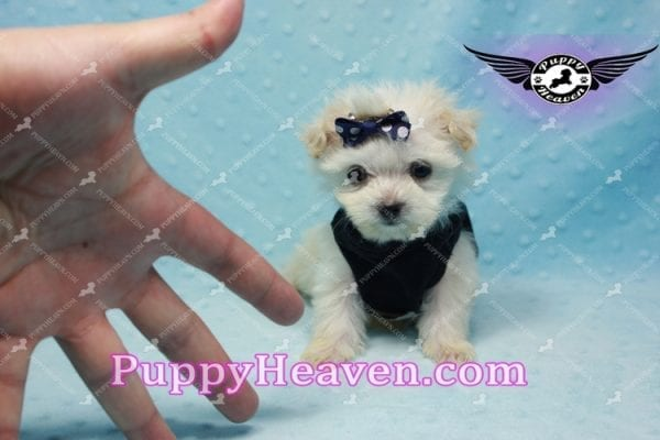 Snoop Dogg - Tiny Teacup Morkie Puppy-10035