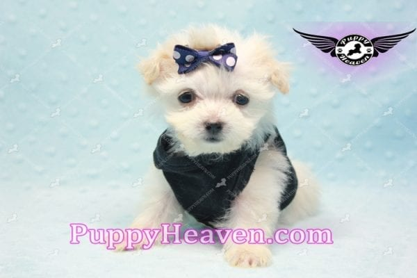 Snoop Dogg - Tiny Teacup Morkie Puppy-10034