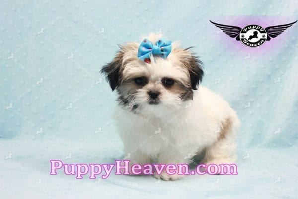 Superman - Teacup Malshi Puppy In Los Angeles Found A New loving Home With With Debra From Spring Creek NV 89815-9582