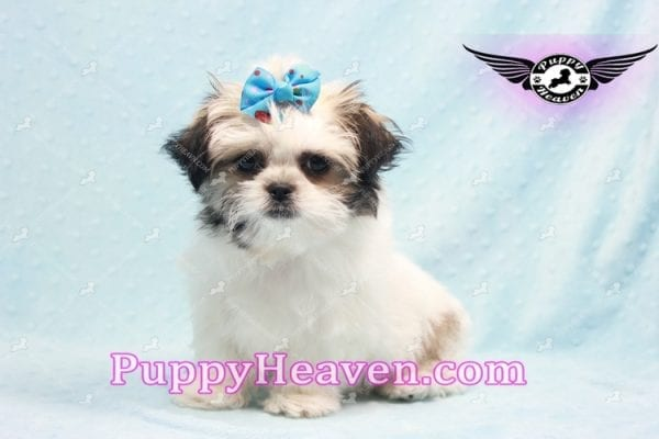 Superman - Teacup Malshi Puppy In Los Angeles Found A New loving Home With With Debra From Spring Creek NV 89815-9585