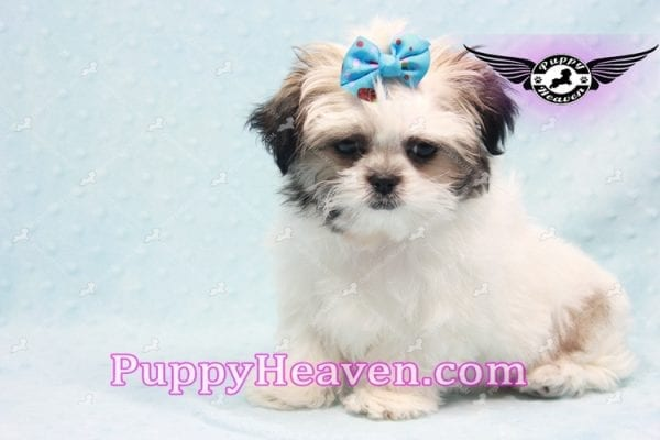 Superman - Teacup Malshi Puppy In Los Angeles Found A New loving Home With With Debra From Spring Creek NV 89815-0