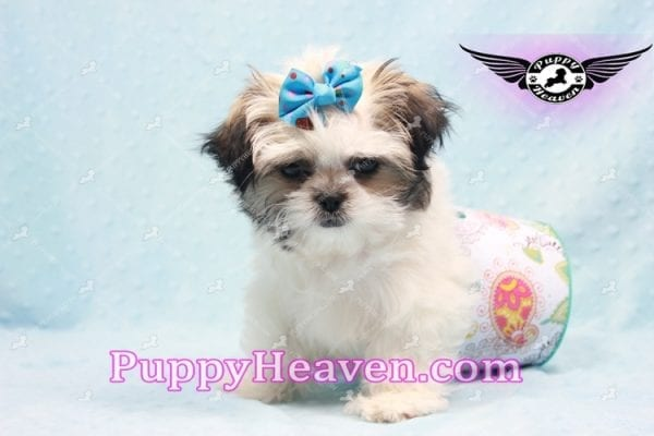 Superman - Teacup Malshi Puppy In Los Angeles Found A New loving Home With With Debra From Spring Creek NV 89815-9577