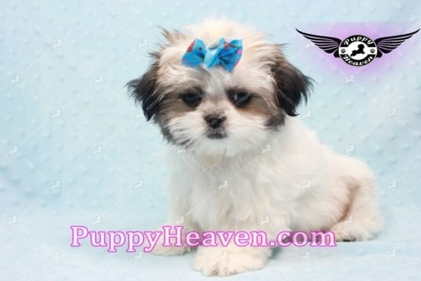 Superman - Teacup Malshi Puppy In Los Angeles Found A New loving Home With With Debra From Spring Creek NV 89815-9578