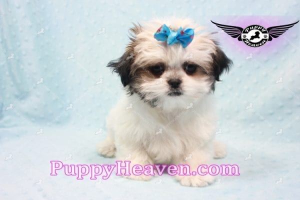 Superman - Teacup Malshi Puppy In Los Angeles Found A New loving Home With With Debra From Spring Creek NV 89815-9579