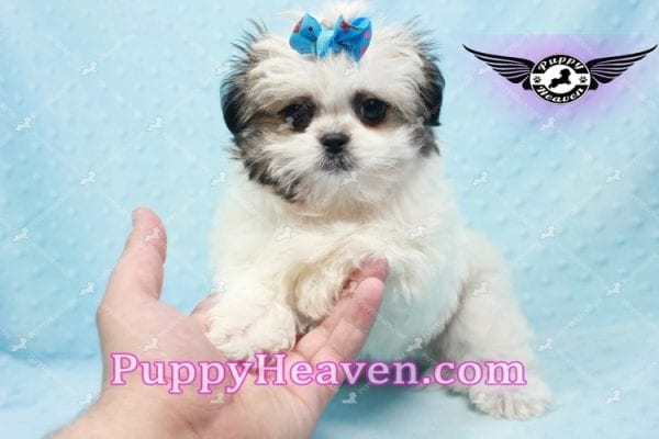 Superman - Teacup Malshi Puppy In Los Angeles Found A New loving Home With With Debra From Spring Creek NV 89815-9580