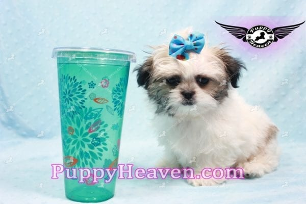 Superman - Teacup Malshi Puppy In Los Angeles Found A New loving Home With With Debra From Spring Creek NV 89815-9584