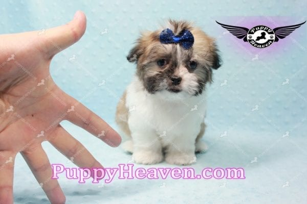 The Boss - Teacup Malshi Has Found A Loving Home With Brandy in Las Vegas, NV 89166!-9723