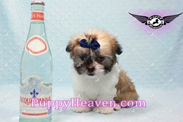 The Boss - Teacup Malshi Has Found A Loving Home With Brandy in Las Vegas, NV 89166!-9724