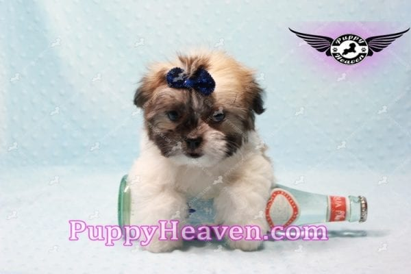 The Boss - Teacup Malshi Has Found A Loving Home With Brandy in Las Vegas, NV 89166!-9722