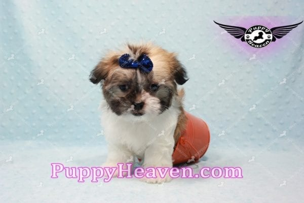 The Boss - Teacup Malshi Has Found A Loving Home With Brandy in Las Vegas, NV 89166!-9721