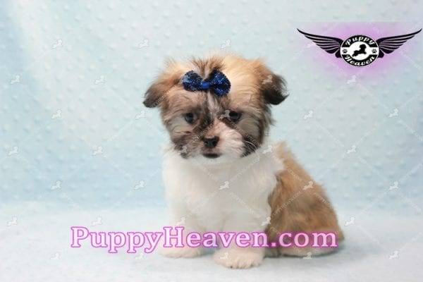 The Boss - Teacup Malshi Has Found A Loving Home With Brandy in Las Vegas, NV 89166!-0