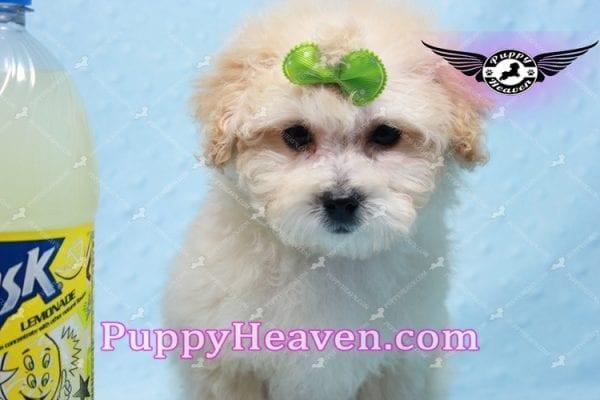 Twitter - Teacup Maltipoo Puppy -10143
