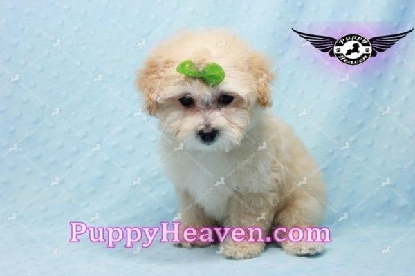 Twitter - Teacup Maltipoo Puppy -10138