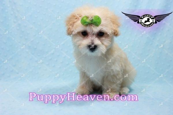 Twitter - Teacup Maltipoo Puppy -10145