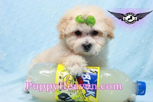 Twitter - Teacup Maltipoo Puppy -10140
