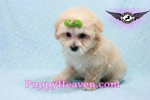 Twitter - Teacup Maltipoo Puppy -0