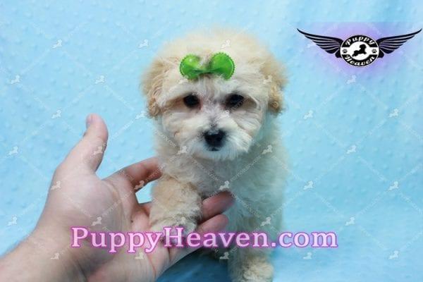 Twitter - Teacup Maltipoo Puppy -10139