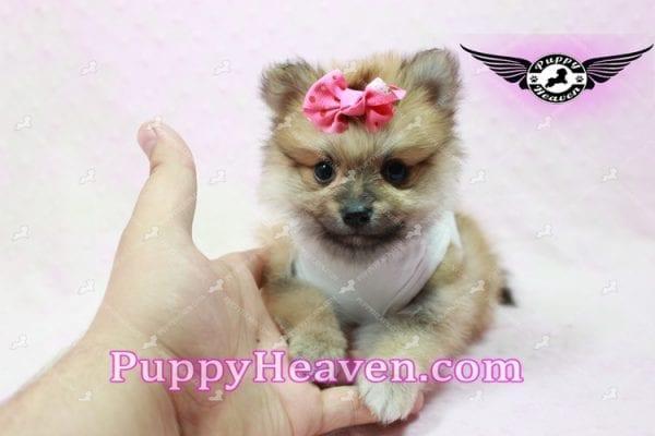Zaza - Teacup Pomeranian Puppy-10069