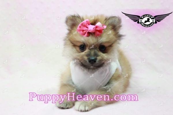 Zaza - Teacup Pomeranian Puppy-10065