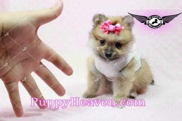 Zaza - Teacup Pomeranian Puppy-10062
