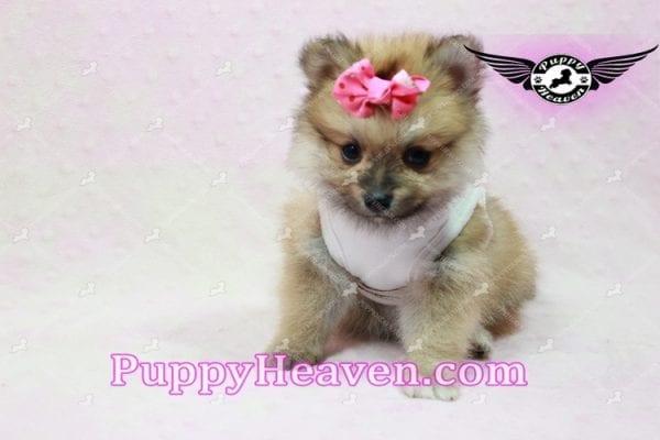 Zaza - Teacup Pomeranian Puppy-10067