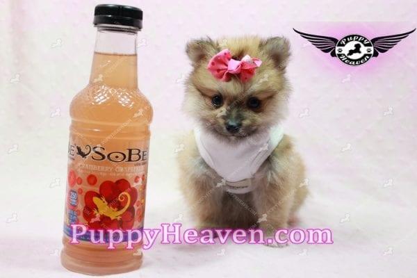 Zaza - Teacup Pomeranian Puppy-10063