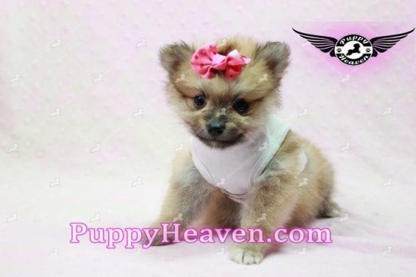 Zaza - Teacup Pomeranian Puppy-10064