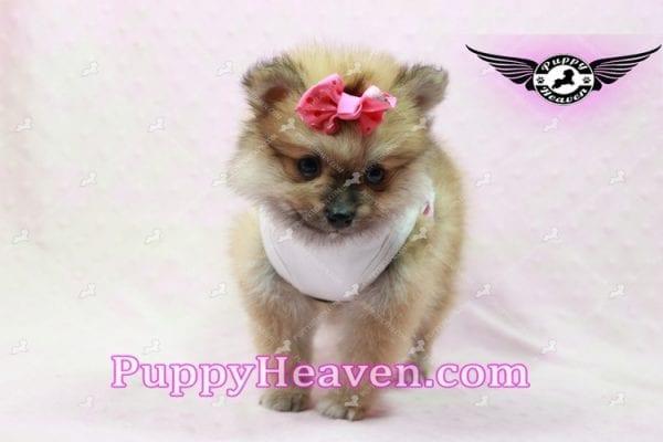 Zaza - Teacup Pomeranian Puppy-10066