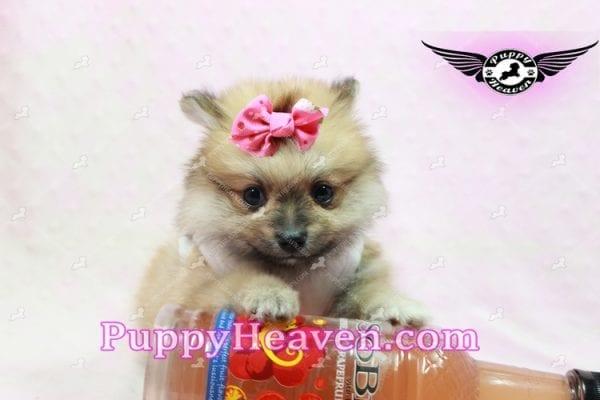 Zaza - Teacup Pomeranian Puppy-10060
