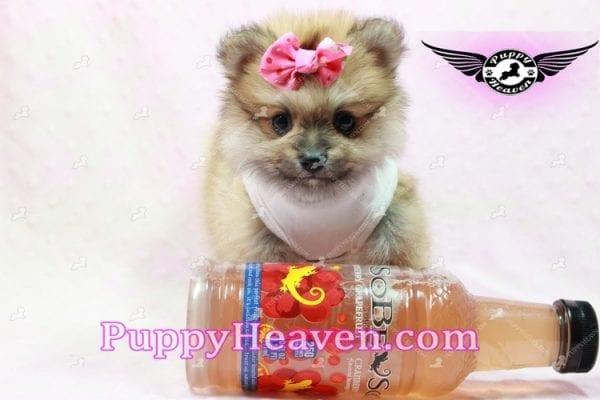Zaza - Teacup Pomeranian Puppy-10070