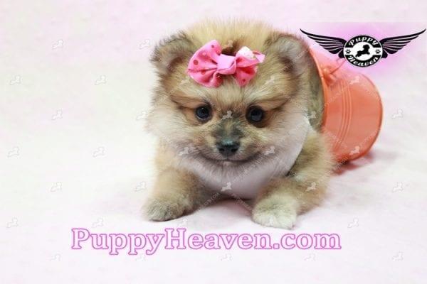 Zaza - Teacup Pomeranian Puppy-10068