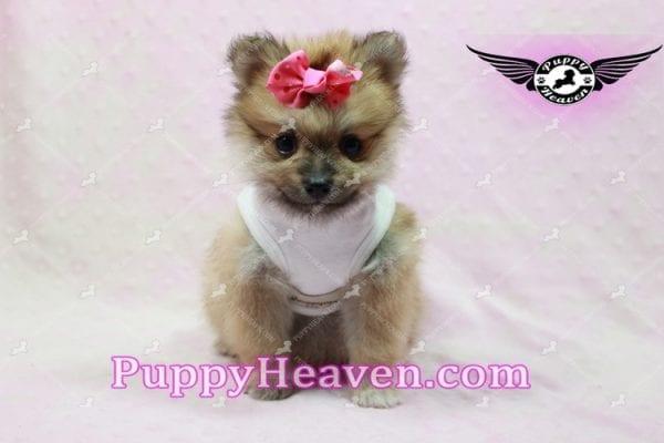 Zaza - Teacup Pomeranian Puppy-0