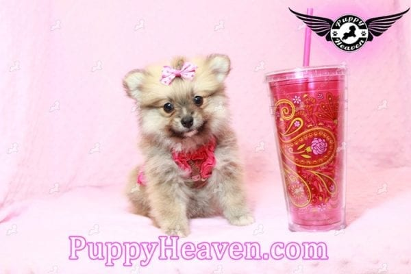 Adriana Lima - Toy Pomeranian Puppy has found a good loving home with Buck from Bakersfield, CA 93314-10305