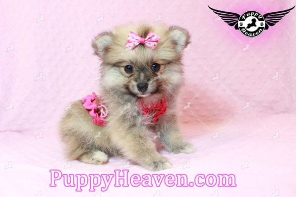 Adriana Lima - Toy Pomeranian Puppy has found a good loving home with Buck from Bakersfield, CA 93314-10307