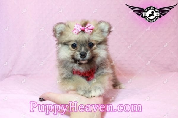 Adriana Lima - Toy Pomeranian Puppy has found a good loving home with Buck from Bakersfield, CA 93314-10309
