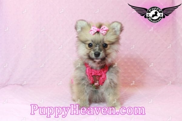 Adriana Lima - Toy Pomeranian Puppy has found a good loving home with Buck from Bakersfield, CA 93314-10306