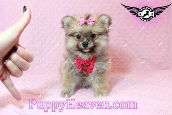 Adriana Lima - Toy Pomeranian Puppy has found a good loving home with Buck from Bakersfield, CA 93314-0