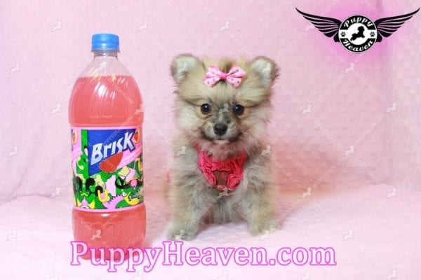 Adriana Lima - Toy Pomeranian Puppy has found a good loving home with Buck from Bakersfield, CA 93314-10308