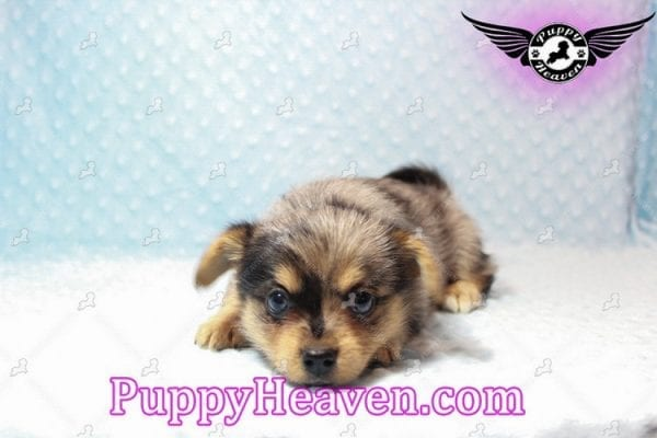 Apple - Teacup Pomtese Puppy has found a good loving home with Michael from Henderson, NV 89052-10572