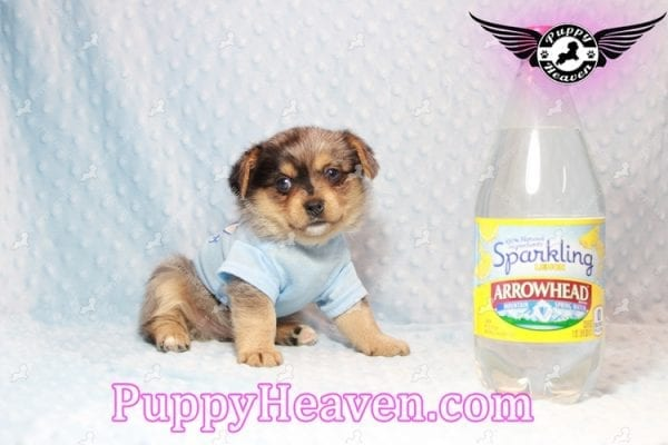 Apple - Teacup Pomtese Puppy has found a good loving home with Michael from Henderson, NV 89052-10574