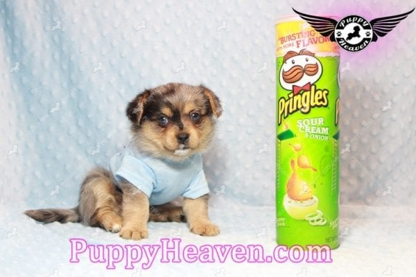 Apple - Teacup Pomtese Puppy has found a good loving home with Michael from Henderson, NV 89052-0