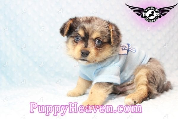 Apple - Teacup Pomtese Puppy has found a good loving home with Michael from Henderson, NV 89052-10576