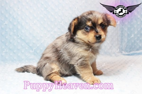 Apple - Teacup Pomtese Puppy has found a good loving home with Michael from Henderson, NV 89052-10571